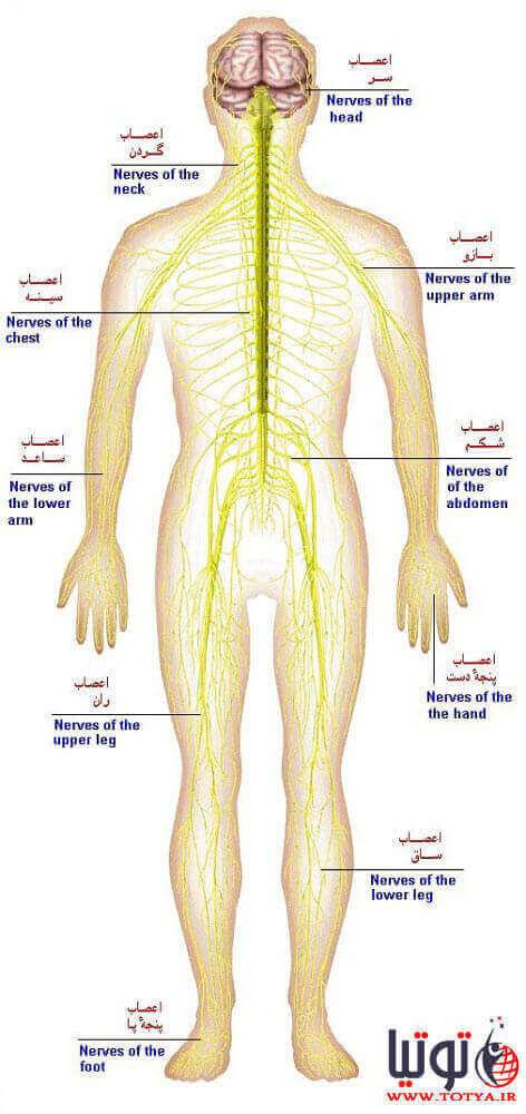 دستگاه عصبی