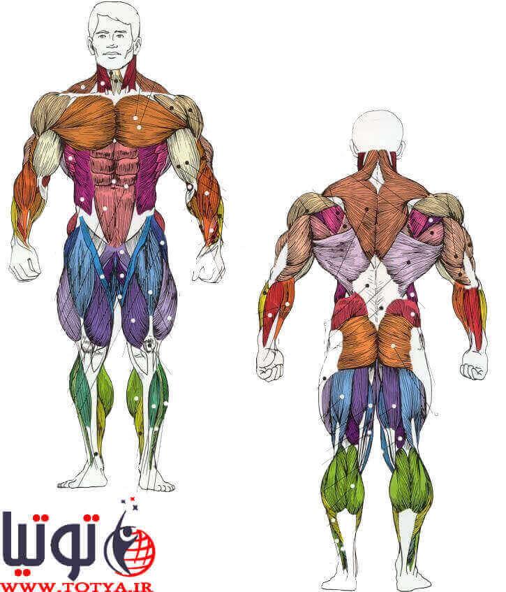 عضله شناسی