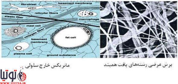 ساختار بافت همبند