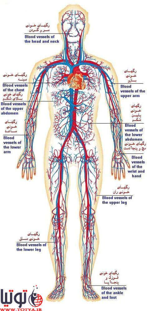 گردش خون: انتقال خون