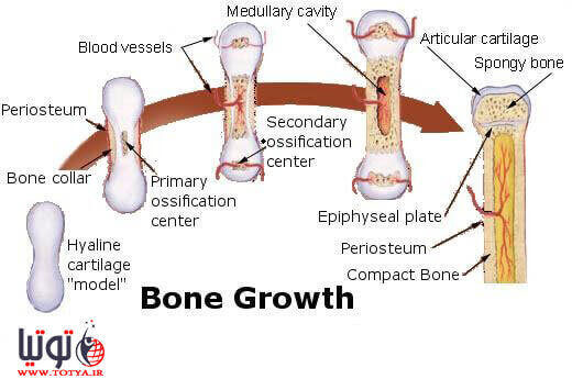 رشد استخوان جنین