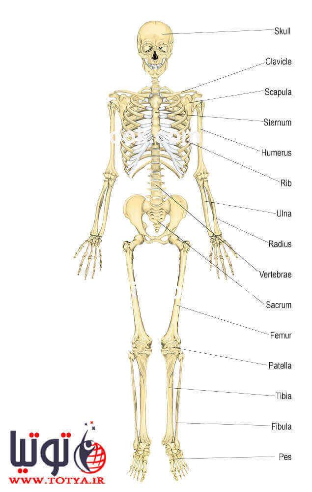 سلول های درون بافت استخوانی
