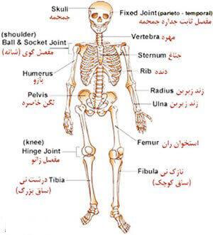 ساختار اسکلتی بدن انسان