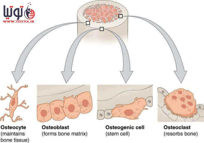 عوامل موثر بر رشد استخوان