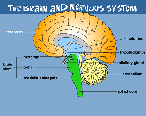 نحوه ی کار کردن مغز
