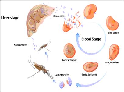 کشف واکسن برای انگل مالاریا